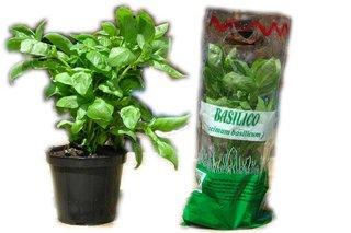 Coltivare il basilico in casa for Coltivare il basilico